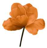 Orange flower tulip on a white isolated background with clipping path. Close-up.  no shadows. Shot of White Colored. Royalty Free Stock Image