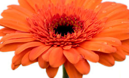 Orange Flower with water droplets Royalty Free Stock Photos