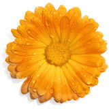 Orange flower with water drops Stock Image