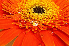 Orange flower with water drops close-up Royalty Free Stock Photo
