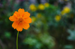 The orange of flower Stock Photography