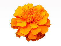 Orange flower isolated on white background. Orange flower on a white background. Calendula Stock Image