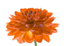 Orange flower on white background isolated. Orange dahlia close-up. stock image