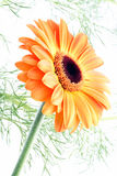 Orange flower on white (gerbera) Stock Photo