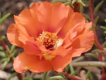 Orange flower. In the whole frame. Warm autumn. Full-blown flower royalty free stock images