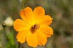 Orange flower. Wild orange flower in upstate New York Stock Images