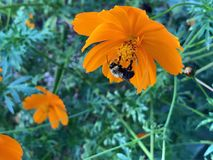 Orange Flower with Yellow and Black Bumble Bee Close up Gathering Pollen from White. Yellow and black striped bee gathering pollen from white flowers. Bombus stock image