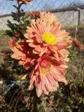 Orange flower Royalty Free Stock Photo