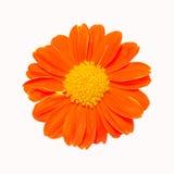 Orange flower with yellow petal Stock Photo