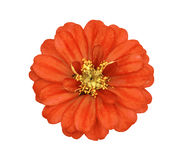 The orange flower with yellow stamens Royalty Free Stock Photography