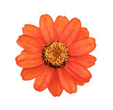 The orange flower with yellow stamens Royalty Free Stock Photos