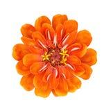 The orange flower with yellow stamens Stock Photo