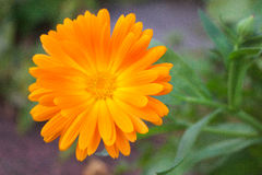 Orange Flower Stock Image
