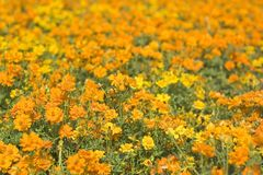 Orange Flowerbed 2 Royalty Free Stock Photos