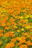 Orange Flowerbed. A flowerbed of orange flower. Shallow depth of field royalty free stock image