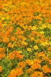 Orange Flowerbed. A flowerbed of orange flower. Shallow depth of field royalty free stock image