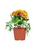 Orange Flowered Plant Stock Photos