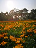Orange flowerfield. Orange flower field with trees in the background Royalty Free Stock Photos