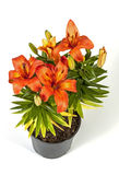 Orange Flowering Asian Lilies in Black Pot Stock Photography