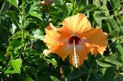 Orange flowering big beauty flower of hibiscus Stock Images