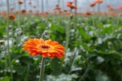 Orange flowering Gerbera plants Royalty Free Stock Photos