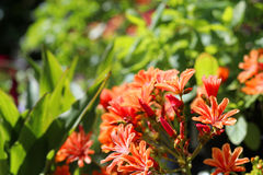 Orange flowering lewisia in a garden. Beautiful lewisia plant with orange flowers in a garden stock images
