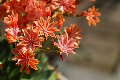 Orange flowering lewisia plant. Orange flowering lewisia potted plant royalty free stock photos