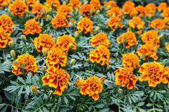 Orange flowering Tagetes plants in a plant Stock Images