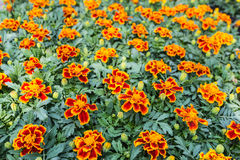 Orange flowering Tagetes plants in a plant Royalty Free Stock Photos