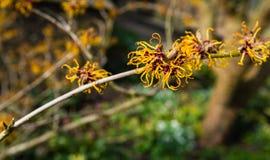 Free Orange Flowering Twig Of A Witch-hazel Shrub Stock Image - 51669951