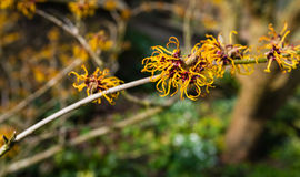 Orange flowering twig of a Witch-hazel shrub Stock Image