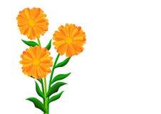 Orange flowers. Isolated on the white Royalty Free Stock Photos
