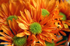 Orange Flowers. Close up of orange daisies Stock Photo