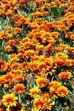 Orange Flowers. On a green grass ground Royalty Free Stock Images