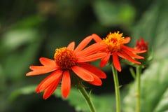 Free Orange Flowers Stock Images - 13221244