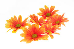 Orange flowers. Bright orange colored flowers on white background stock photography