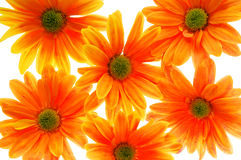 Orange flowers. Bright orange colored flowers on white background stock photos