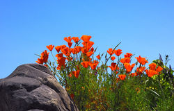 Orange Flowers. With a blue sky in the background Royalty Free Stock Photography