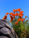 Orange Flowers. A close up on orange flowers Stock Photos