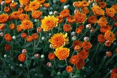 Free Orange Flowers Royalty Free Stock Photos - 3461988