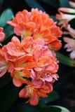 Orange flowers. On a dark background Stock Photos