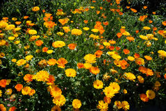 Orange flowers. Orange bloom flowers with orange, yellow, peach and red Stock Photography