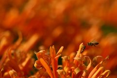 Orange flowers. Orange trumpet in nature with bees Stock Image