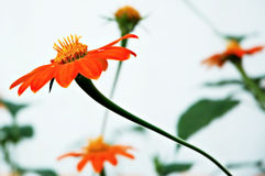 Orange flowers Stock Image
