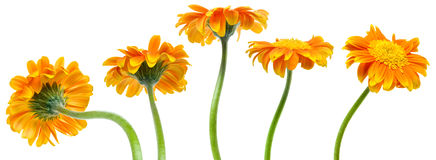 Orange flowers. A flower in five different positions from back to front stock images