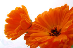 Orange flowers Royalty Free Stock Image