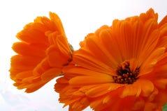 Orange flowers. Closeup of two orange flowers on white background Royalty Free Stock Image