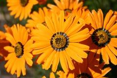 Orange flowers Stock Photos