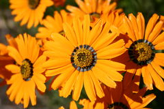 Orange flowers. Bright orange flowers Stock Photos