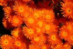 Orange flowers. Many orange flowers Stock Image